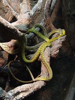 ニシグリーンマンバ - Wikipedia
