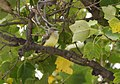 Western Kingbirds recently fledged (36987362263).jpg