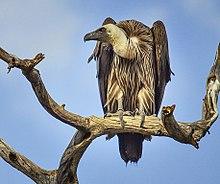 White-backed Vulture Chobe.jpg