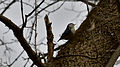 White-breasted Nuthatch (Sitta carolinensis) - London, Ontario 01.jpg