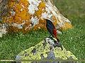 White-capped Redstart (Chaimarrornis leucocephalus) (28954842241).jpg