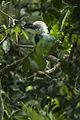White-crested Hornbill - Ghana S4E1462 (16222572737).jpg