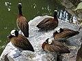 White-faced Whistling Duck, Dendrocygna viduata, JBP, Nov 06.JPG