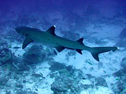 Whitetip reef shark.JPG