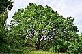 Wien-Penzing - Naturdenkmal 822 - Stieleiche (Quercus robur).jpg