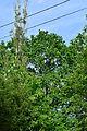 Wien-Penzing - Naturdenkmal 822 - Stieleiche (Quercus robur) - Ansicht Straße.jpg