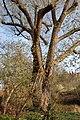 Wiener Naturdenkmal 219 - Bruchweide (Döbling) g.jpg