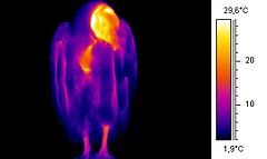 Some members of both the old and new world vultures have an unfeathered neck and head, shown as radiating heat in this thermographic image.