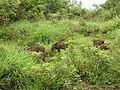 Wild Boar-2-mundanthurai-tirunelveli-India.jpg