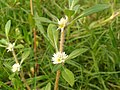 Wild White Asters.jpg