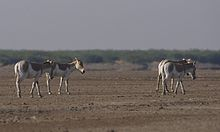 Wild asses in the Little Rann of Kutch - Flickr - Lip Kee.jpg