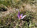 Wild crocus on the Monte Faro.jpg