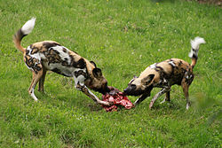 Wild dog Lyacon pictus.jpg