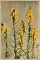 Wild flowers every child should know - arranged according to color with reliable descriptions of the more common species of the United States and Canada (1909) (14771380662).jpg