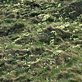 Wild primroses near Rumps Point - geograph.org.uk - 1294302.jpg