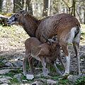 Wildpark Bad Mergentheim. Mufflon säugt.jpg