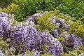 Wisteria sinensis, Christchurch Botanic Gardens, Canterbury, New Zealand 20.jpg