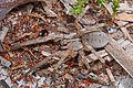 Wolf Spider, Lake June-in-Winter Scrub State Park, Lake Placid, Florida.jpg