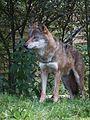 Wolf im Tiergarten Worms 2011.JPG