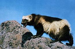 Wolverine on rock.jpg