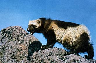 Wolverine - Wolverine on rocky terrain