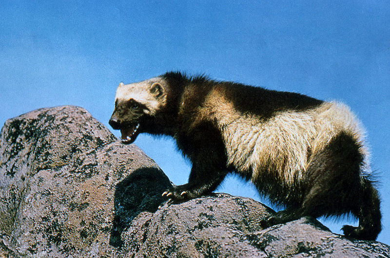 http://upload.wikimedia.org/wikipedia/commons/thumb/8/8c/Wolverine_on_rock.jpg/800px-Wolverine_on_rock.jpg