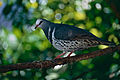 Wonga Pigeon (Leucosarcia melanoleuca) (9741591077).jpg