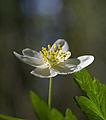 Wood Anemone (3508585280).jpg