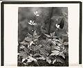 Wood anemone LCCN2008676002.jpg