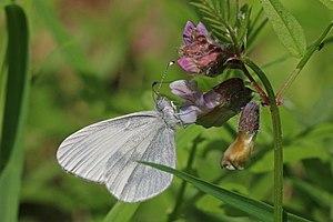 Leptidea sinapis - A female wood white