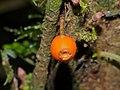 Woody Vine (Id ?) fruit (15617422532).jpg