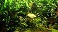 File:Wuppertal - Zoo - Puntius denisonii+Trigonostigma heteromorpha 01 (0) ies.webm