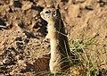 Wyoming Ground Squirrel on Seedskadee National Wildlife Refuge (27037287683).jpg