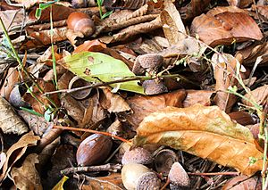 Name: Autumn impression - acorns. Location: Mü...