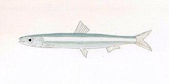 Silver-stripe round herring - Image: XRF Spratelloides gracilis