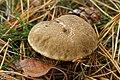 Xerocomellus cisalpinus (36501718962).jpg