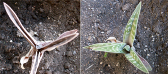 Transpiration - Some xerophytes will reduce the surface of their leaves during water deficiencies (left). If temperatures are cool enough and water levels are adequate the leaves expand again (right).