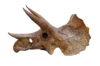 Yale-Peabody-Triceratops-004d.jpg