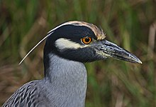 Yellow-crowned Night Heron - Nyctanassa violacea, Mrazek Pond, Everglades National Park, Homestead, Florida.jpg