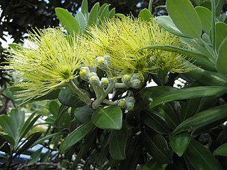 "Metrosideros excelsa - The yellow-flowering ""Aurea"" cultivar"
