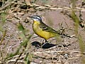 Yellow Wagtail (Male- beema race) I IMG 9616.jpg