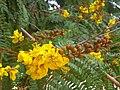 Yellow flame flowers.jpg