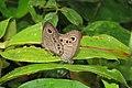 Ypthima baldus - Common Five-ring mating pair 2014 (3).jpg
