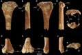 Yunganglong tibia and astragalus.png