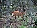 Zoo de Lunaret - Loup à crinière - P1600212.jpg