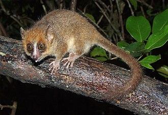 Лемур мыши сидел на ветке