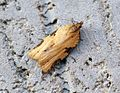 (0993) Clepsis spectrana - Flickr - Bennyboymothman.jpg