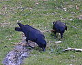 (1)crows Centennial Park-2.jpg