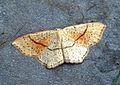 (1680) Maiden's Blush (Cyclophora punctaria) (7167728158).jpg