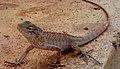 (Calotes versicolor) Garden Lizard at Madhurawada.jpg
